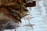 Yellow-rumped Warbler at the pond 1/4/16
