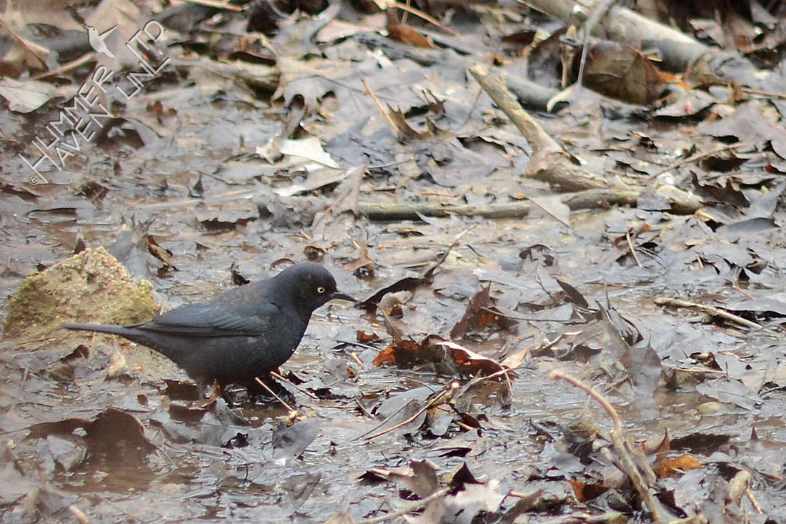 Rusty Blackbird 3-1-16