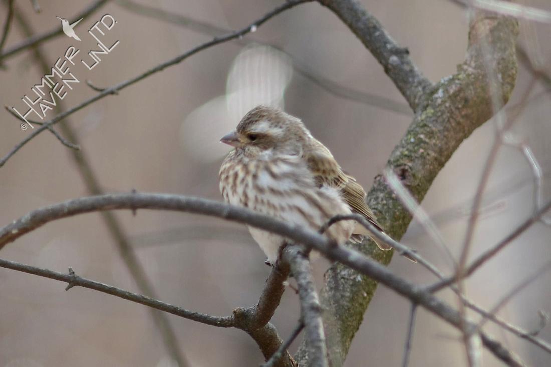 Purple Finch female on 1/18/16