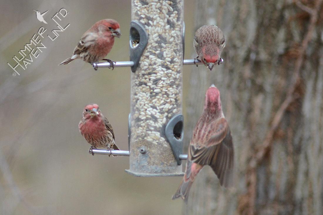 Purple Finch, lower right