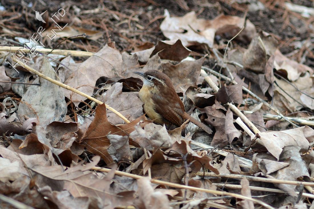 Carolina Wren foraging in leaf litter 1/18/16