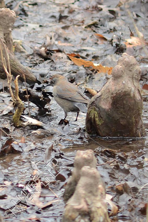 Rusty Blackbird female 3-1-16