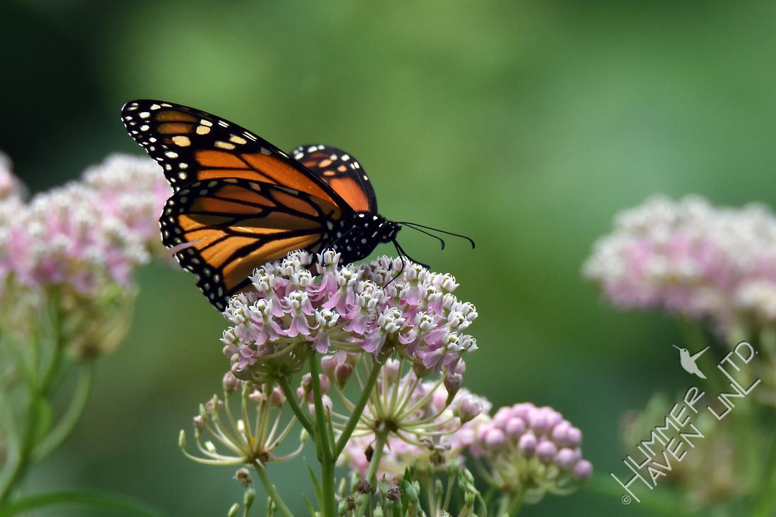 Monarch on Marsh Milkweed (Asclepias incarnata) 8/20/16