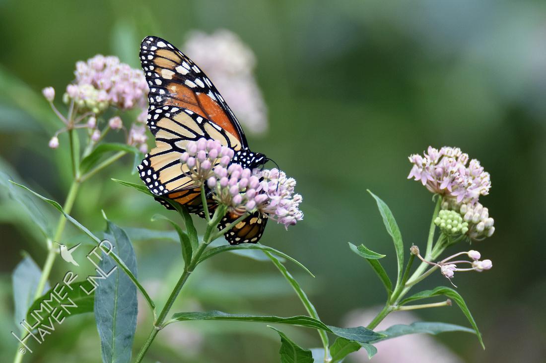 Monarch female on Marsh Milkweed (Asclepias incarnata) 8-12-16
