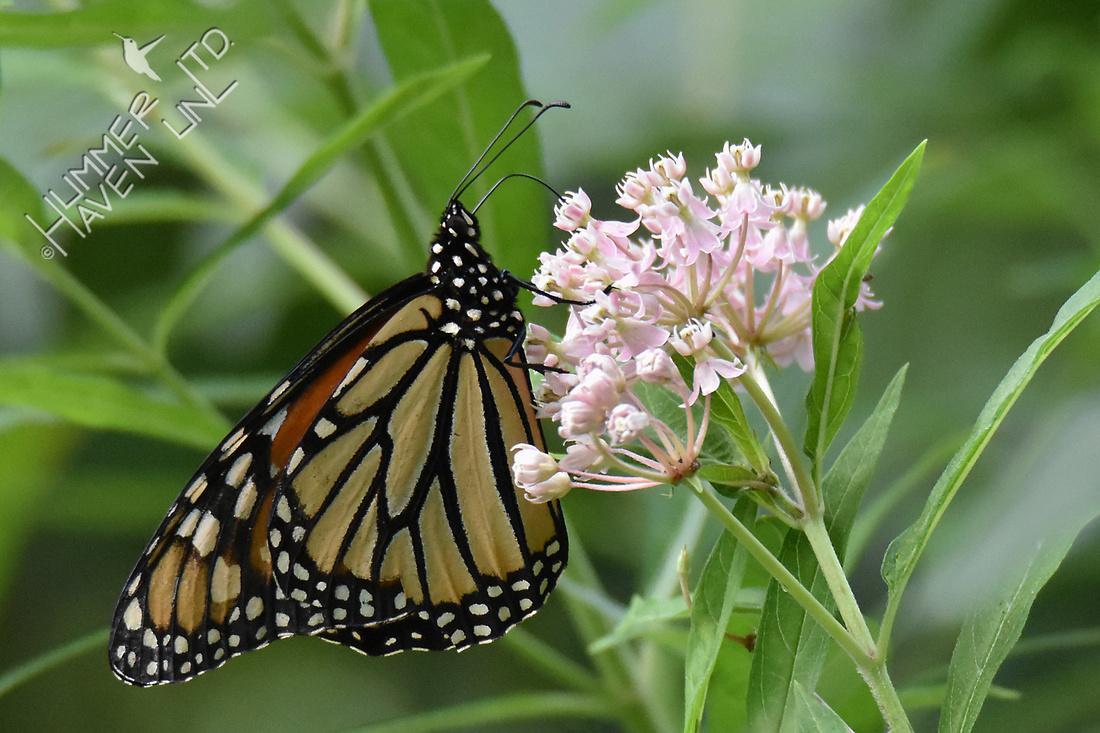 Monarch on Marsh Milkweed (Asclepias incarnata) 8-12-16