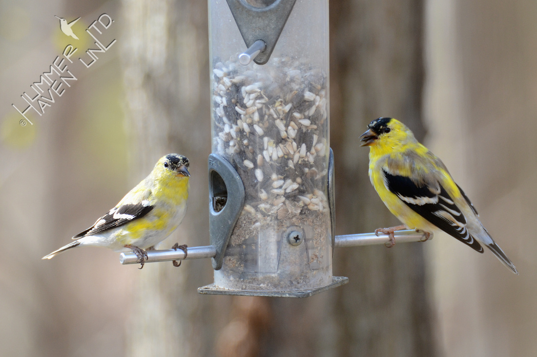 American Goldfinches in transitional plumage 3-26-16