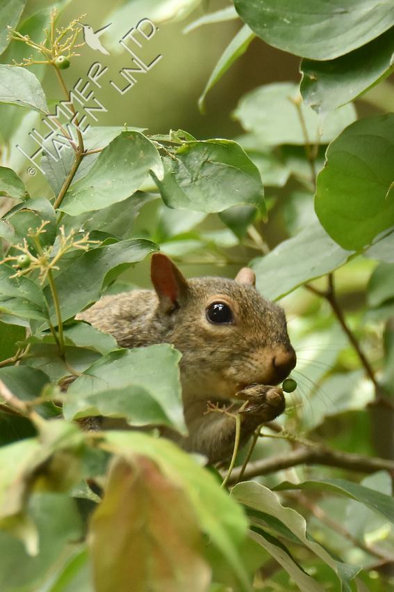 Gray Squirrel eating Rough-leaf Dogwood berries 7-14-16