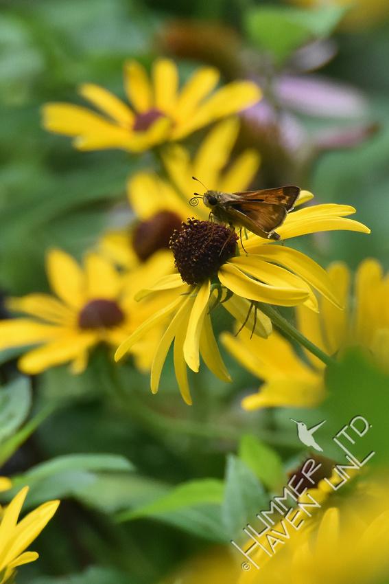 Skipper on Sweet Coneflower (Rudbeckia submentosa) 8-18-16