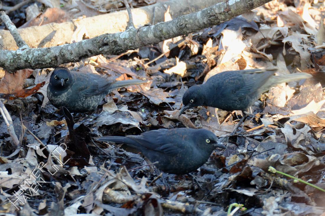 Rusty Blackbirds 3-25-16
