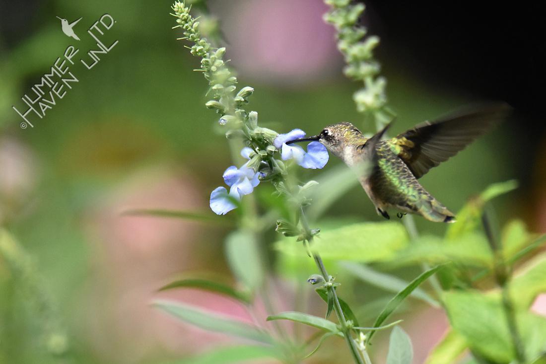 Ruby-throated Hummingbird on Blue Sage (Salvia azurea) 8-7-16