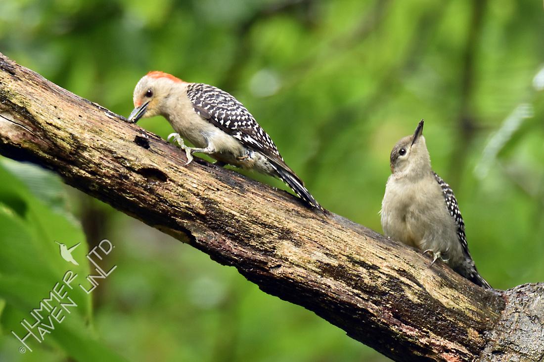 Red-bellied Woodpecker female feeding fledgling 7-3-16