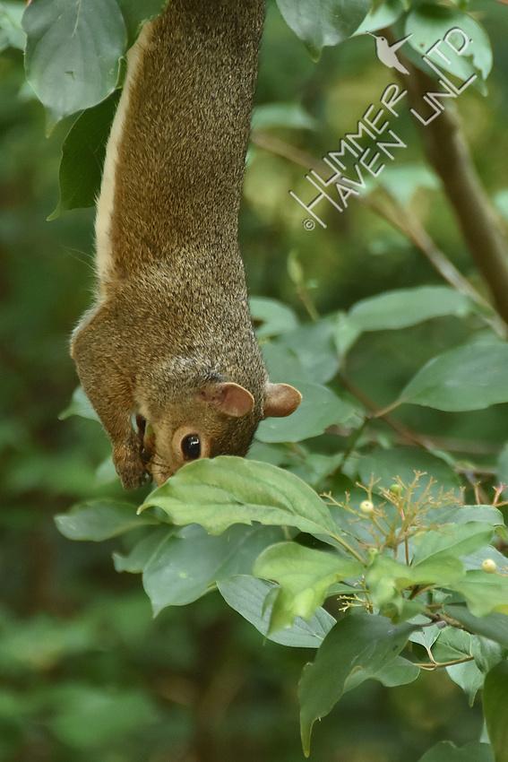 Gray Squirrel eating Rough-leaf Dogwood berries 7-19-16