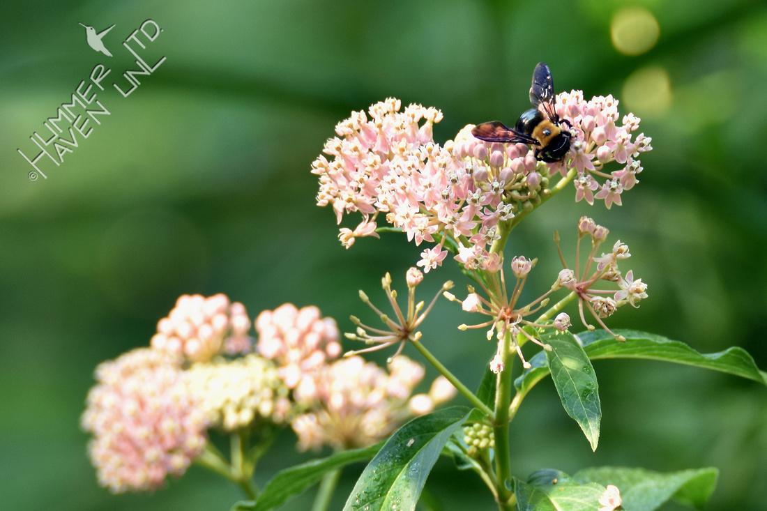 Bumblebee on Marsh Milkweed (Asclepias incarnata) 8-4-16