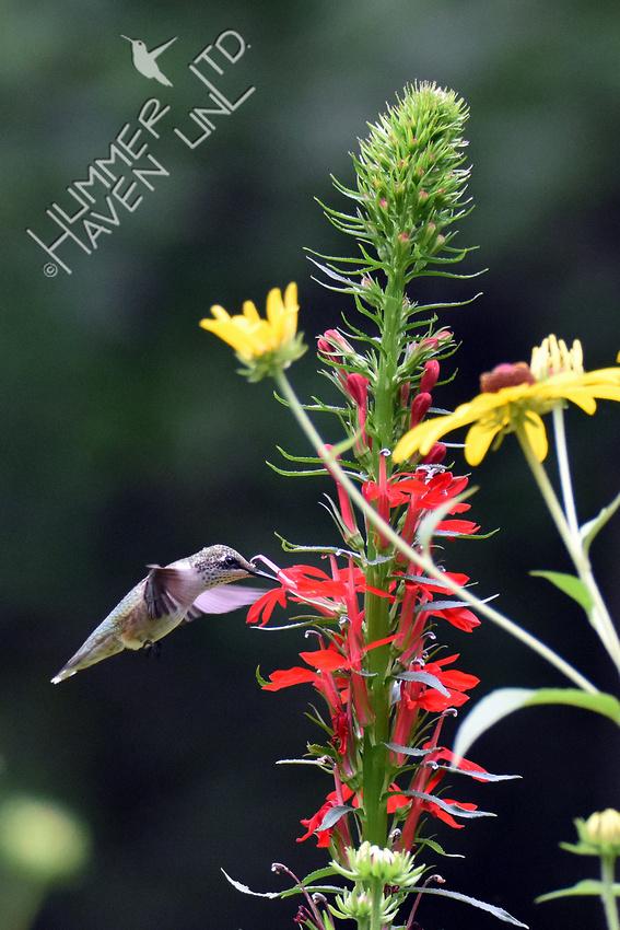 Ruby-throated Hummingbird at Cardinal flower (Lobelia cardinalis) 8-8-16