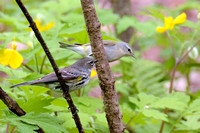 Yellow-rumped and Tennessee Warblers 4-21-16