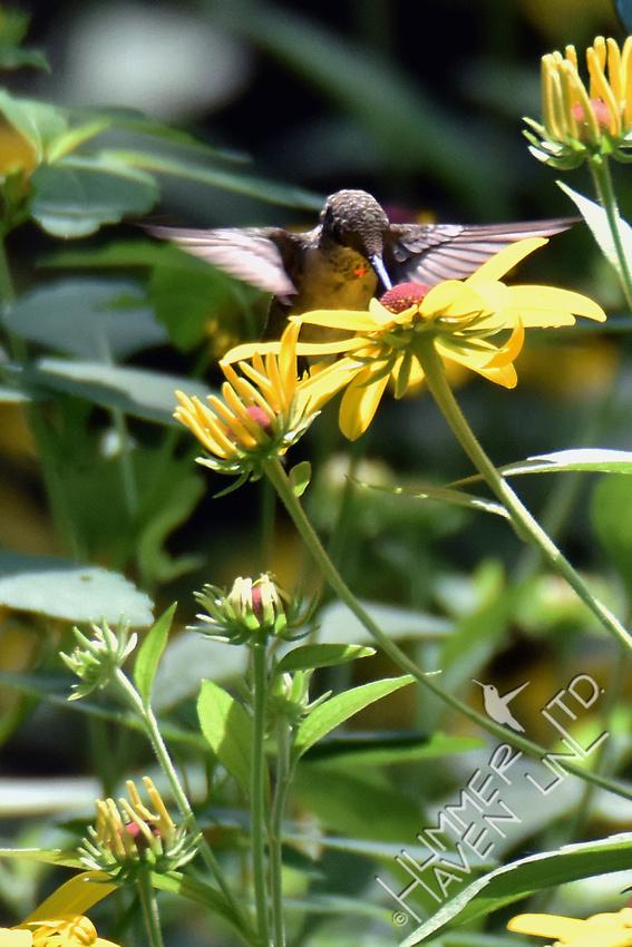 Ruby-throated Hummingbird on Sweet Coneflower (Rudbeckia submentosa) 8-7-16