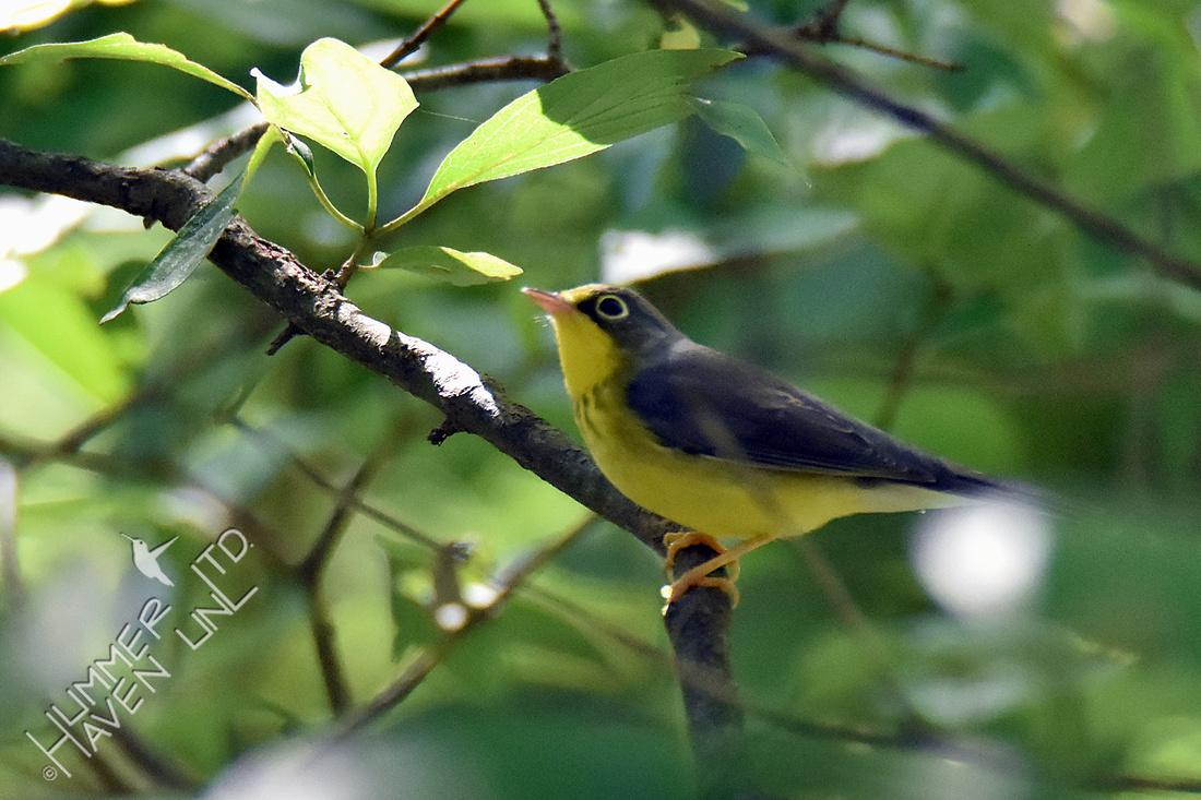Canada Warbler female 8-21-16