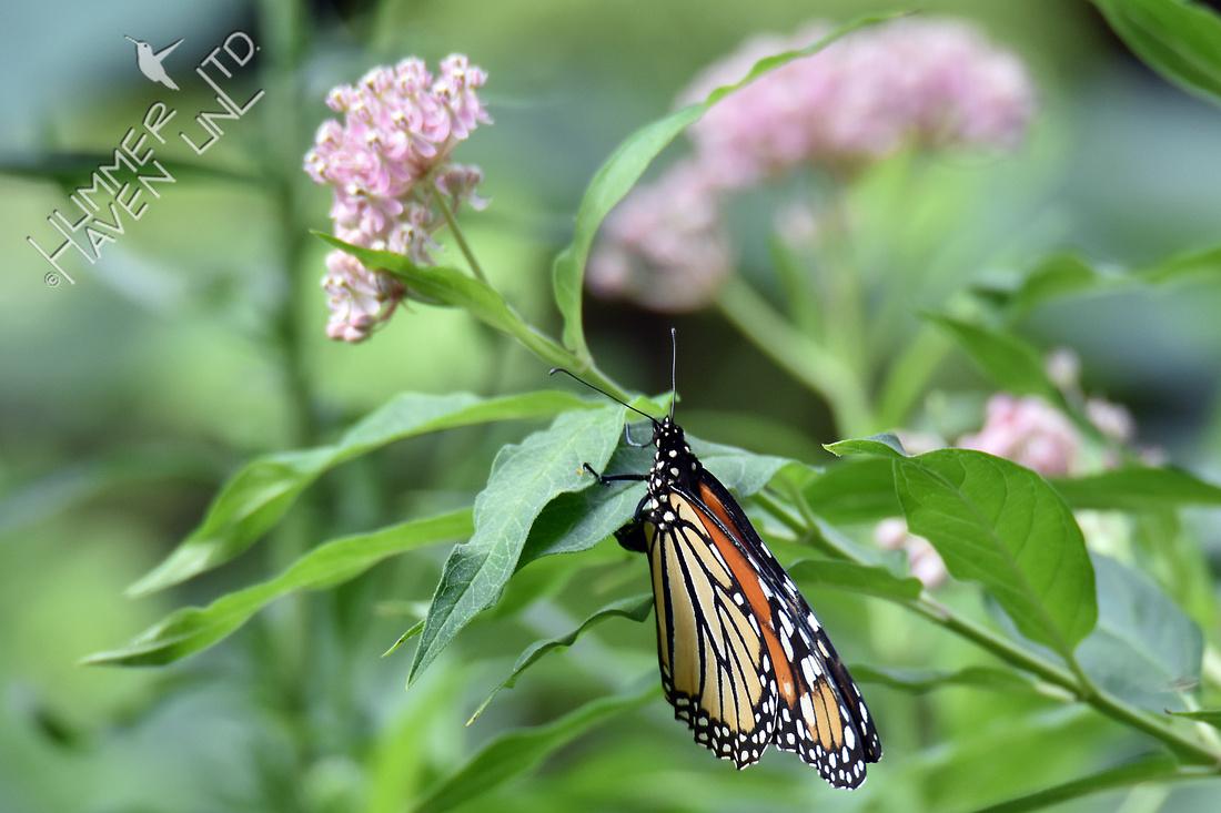 Monarch laying eggs on Marsh Milkweed (Asclepias incarnata) 8-12-16