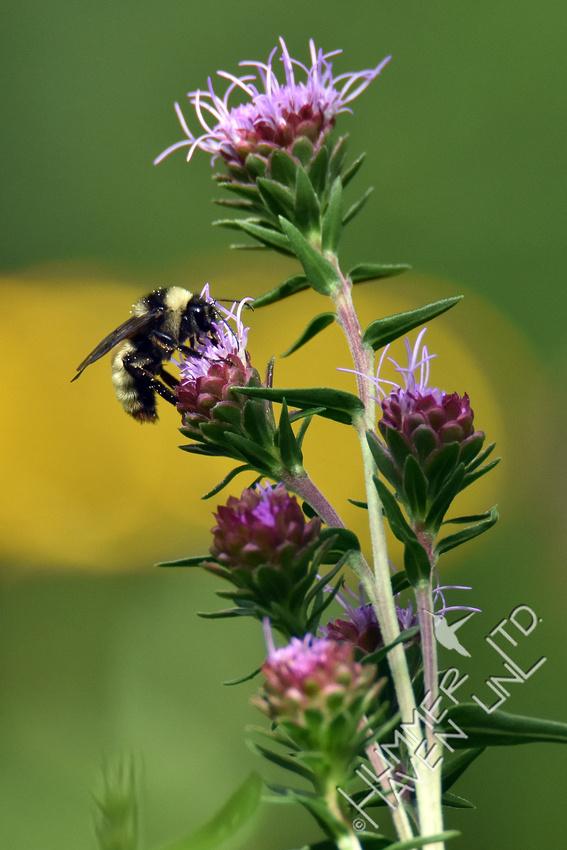 Yellow Bumblebee (Bombus fervidus) on Eastern Blazingstar (Liatris scariosa) 8-20-16