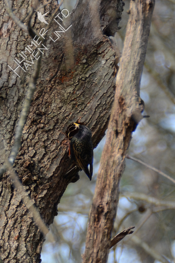 European Starling bringing nest material to cavity 3-26-16