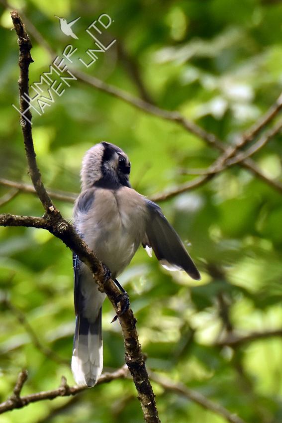 WBR Blue Jay #1