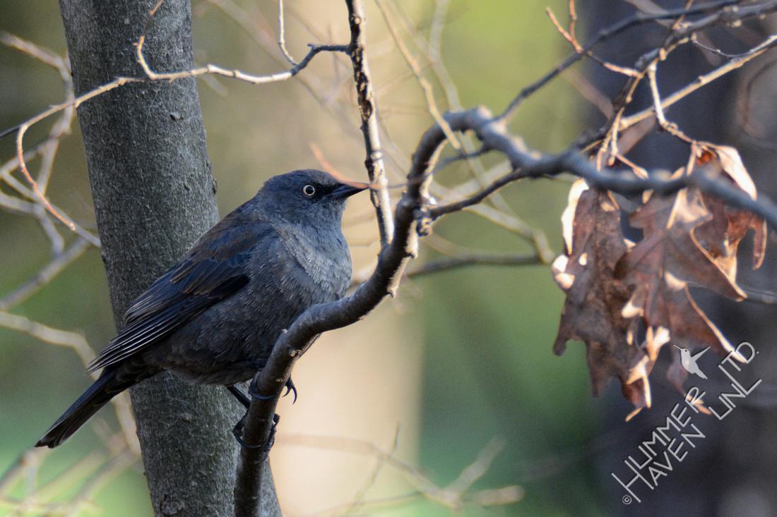 Rusty Blackbird 3-25-16