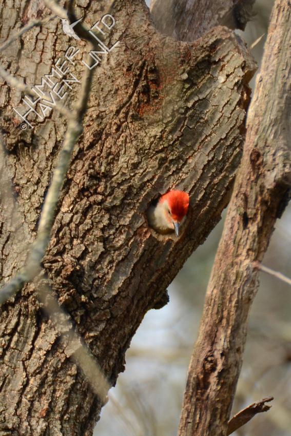 Red-bellied Woodpecker 3-24-16