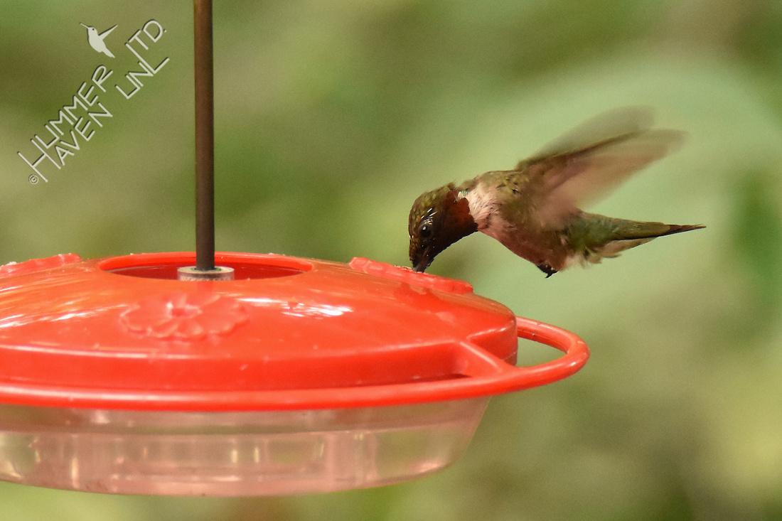 Ruby-throated Hummingbird 8-6-16