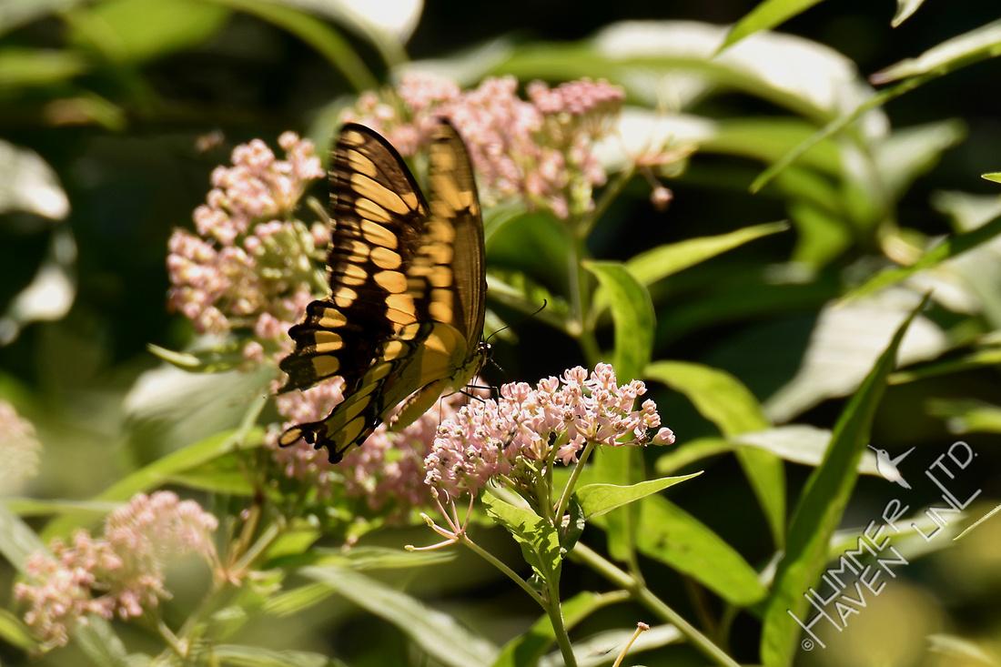 Giant Swallowtail on Marsh Milkweed (Asclepias incarnata) 8-6-16