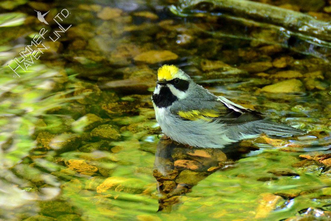 Golden-winged Warbler 5-7-16