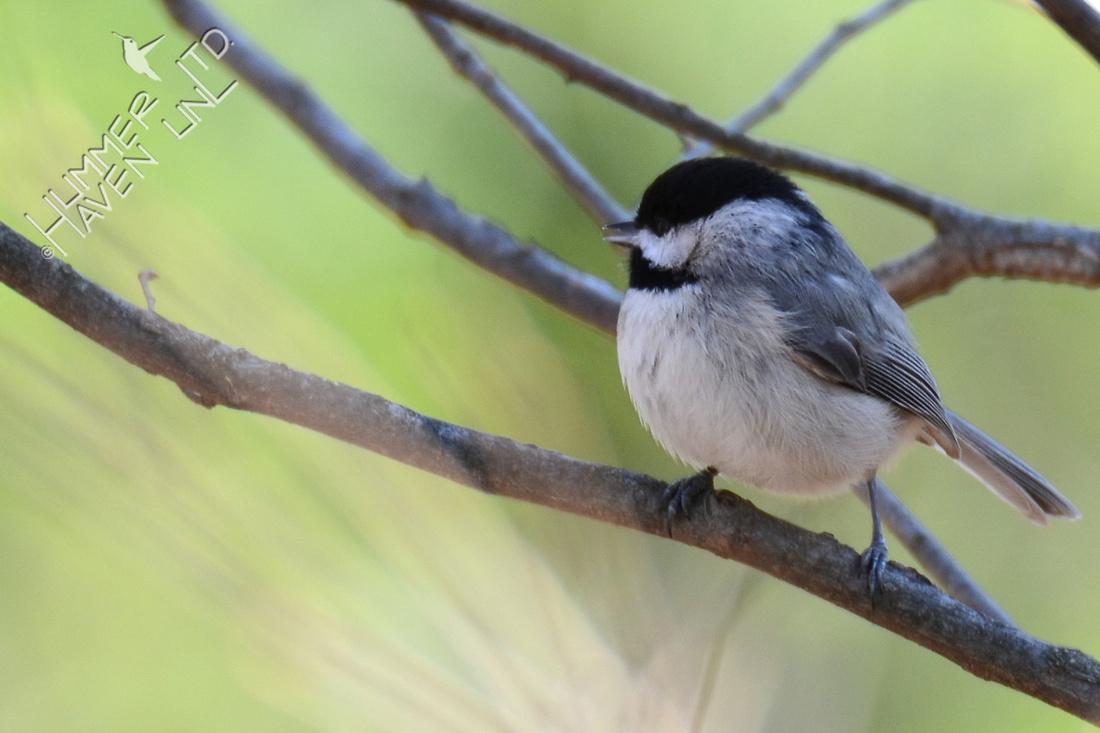 Carolina Chickadee female 3-25-16