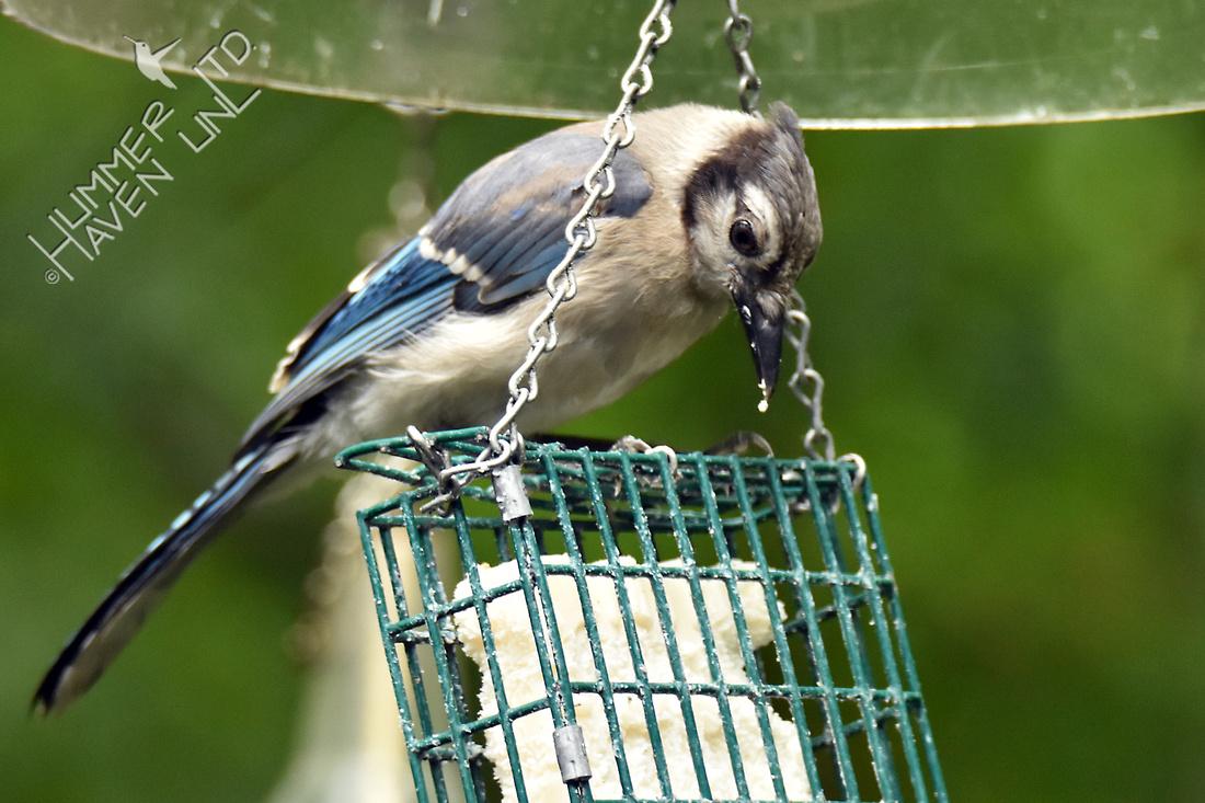 Blue Jay fledgling 7-3-16