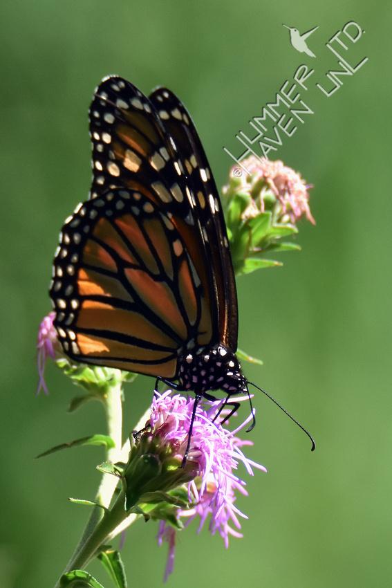 Monarch female on Eastern Blazingstar (Liatris scariosa) 8-18-16