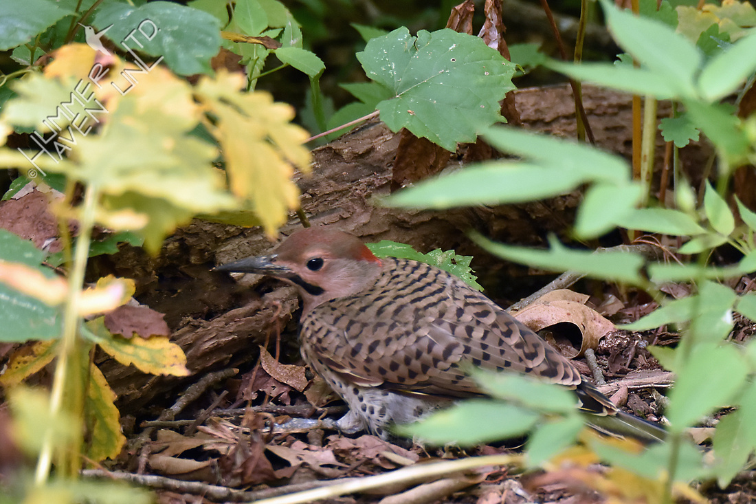 Northern Flicker juvenile male finding insects in log to eat 7-29-16