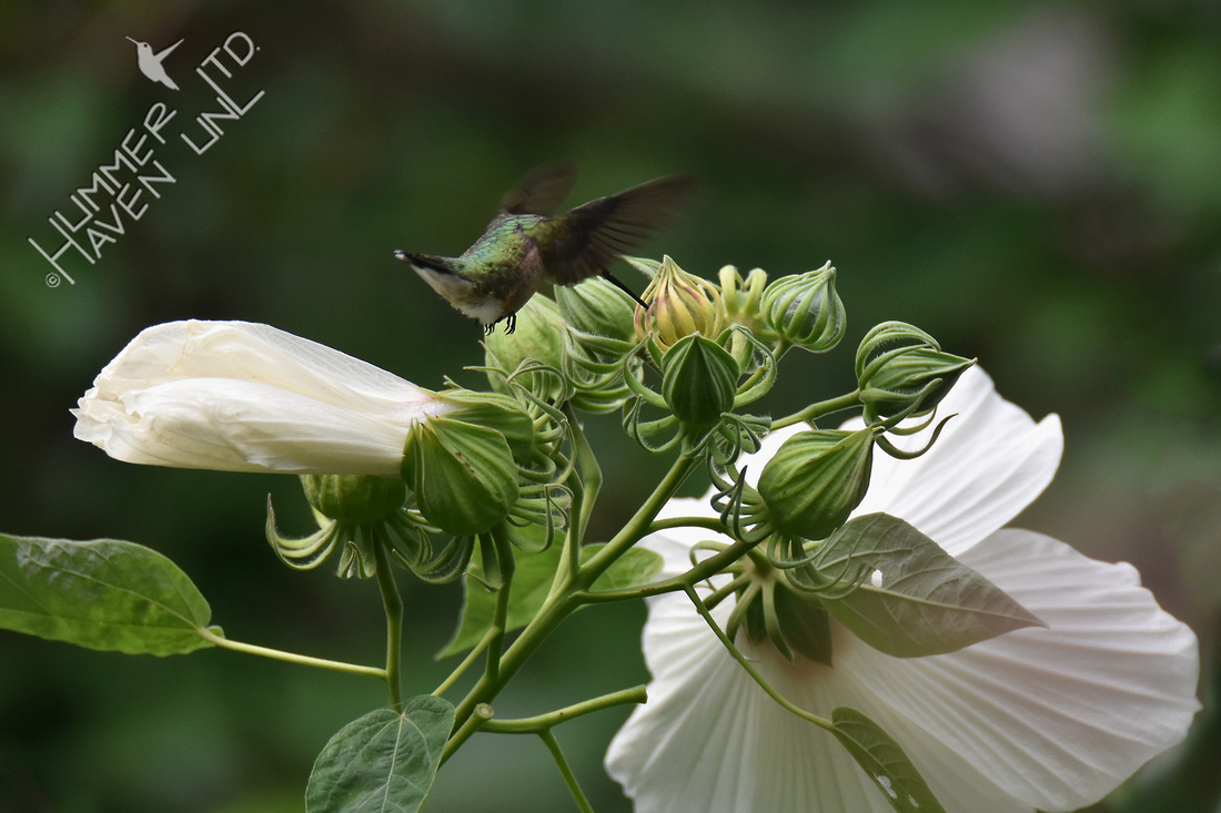 Ruby-throated Hummingbird on Rose Mallow  (Hibiscus lasiocarpus) 8-20-16
