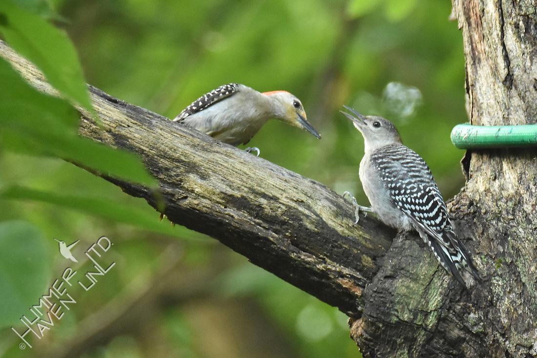 Red-bellied Woodpecker female feeding fledgling 7-5-16