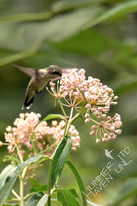 Ruby-throated Hummingbird at Marsh Milkweed (Asclepias incarnata) 8-8-16