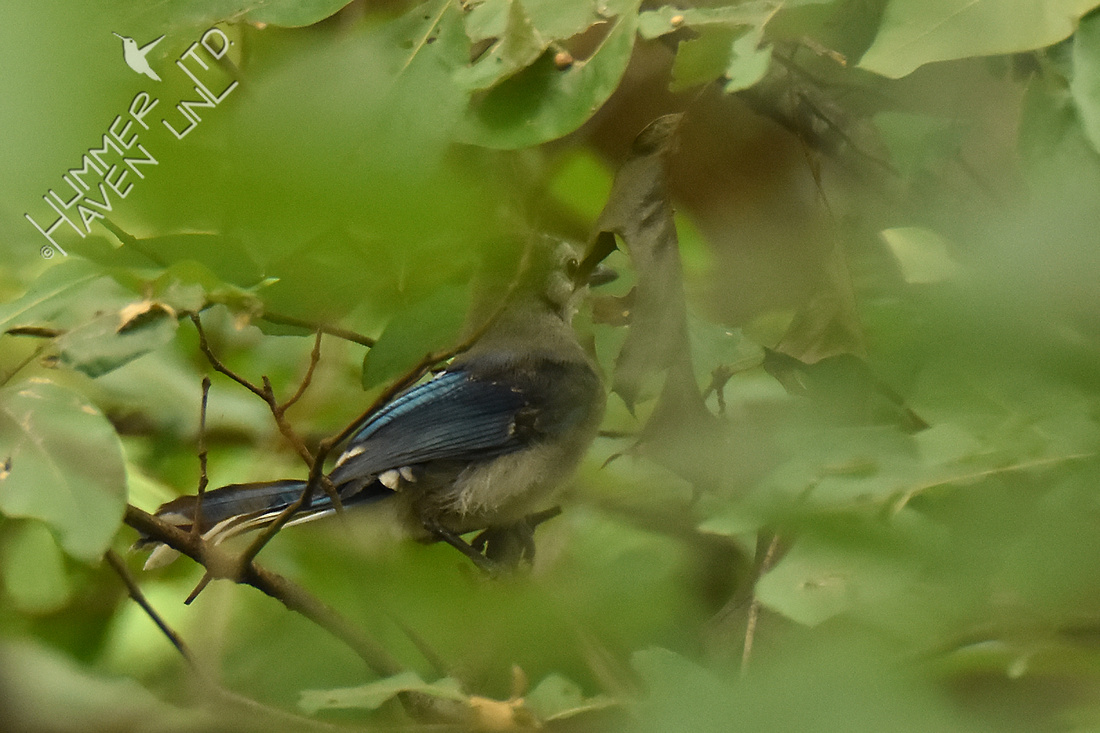 WBR Blue Jay #2