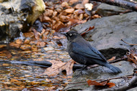 1-3-17 Rusty Blackbird