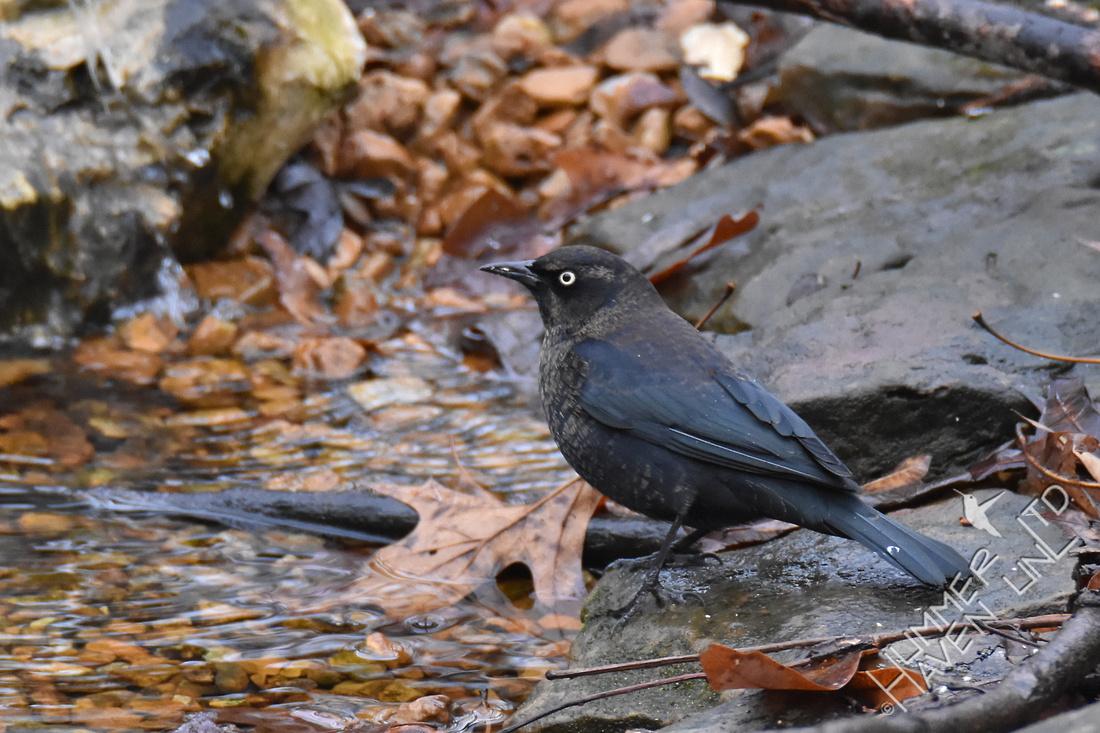 1-3-17 Rusty Blackbird