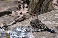 Northern Flicker female 1-4-17