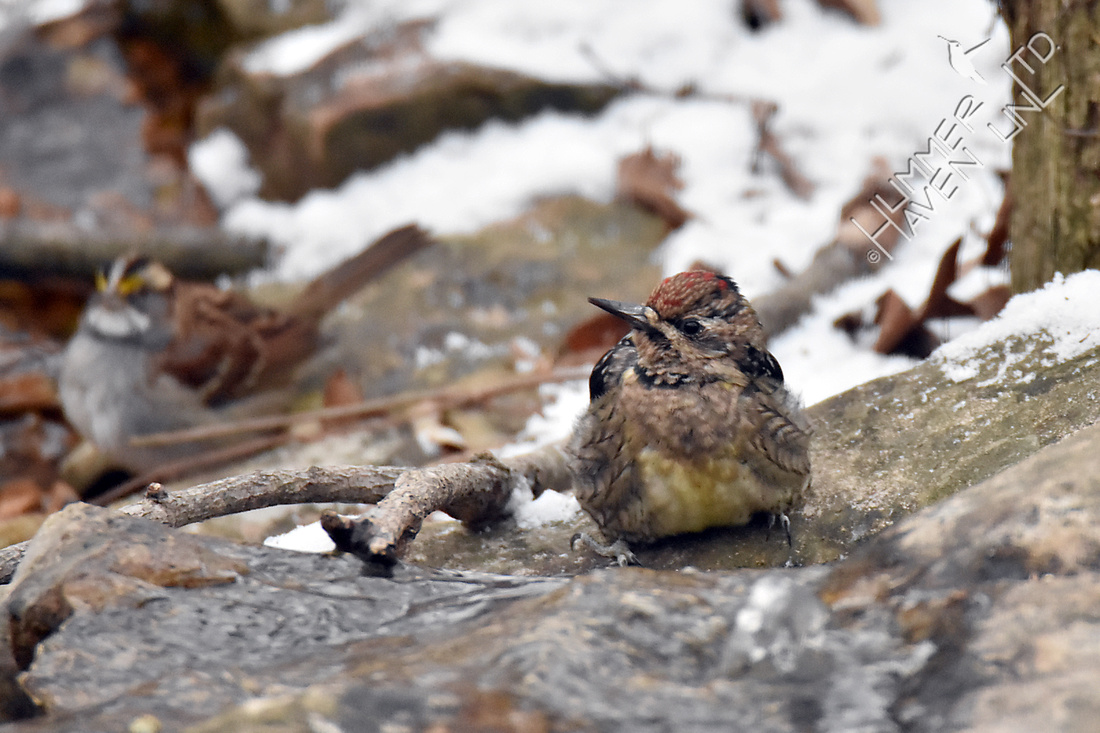 Yellow-bellied Sapsucker female 1-6-17
