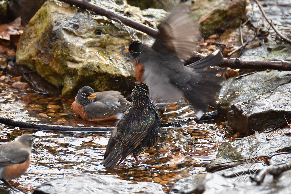 American Robins and European Starling 1-11-17