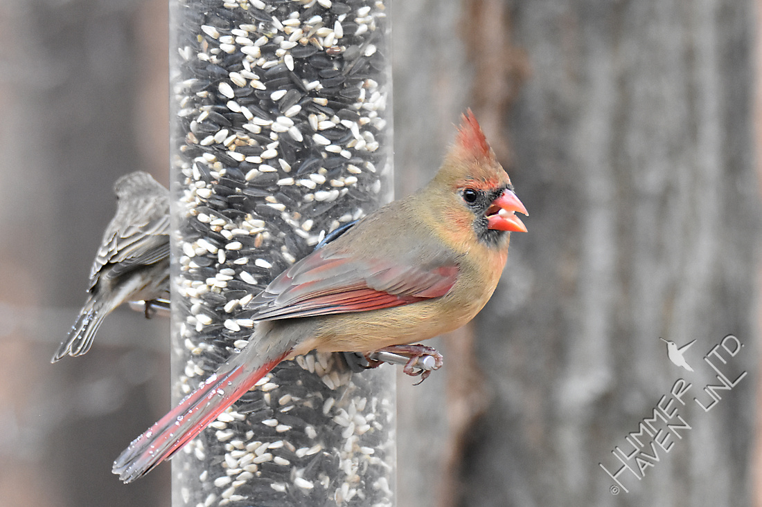House Finch and Northern Cardinal with ice on tails 1-13-17