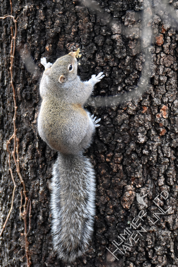 Eastern Gray Squirrel eating bark butter 1-17-17
