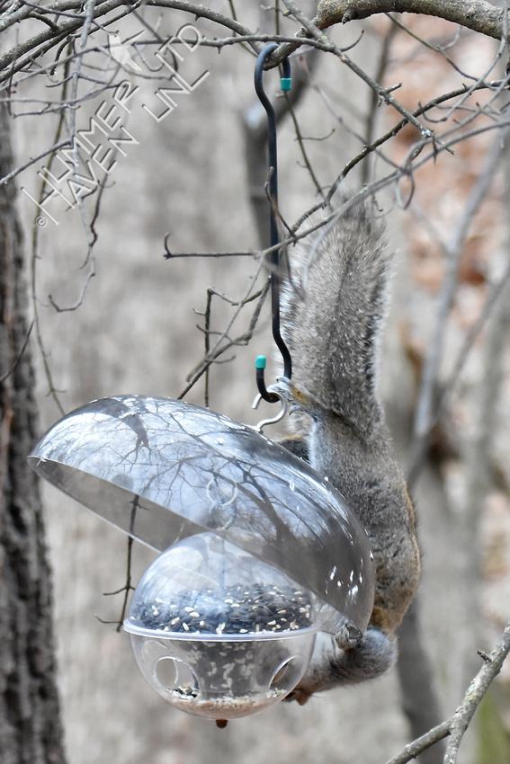 Eastern Gray Squirrel on feeder 1-11-17