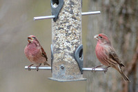 Purple Finch on left, House Finch on right