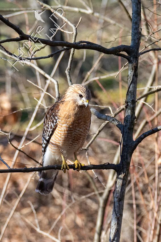 3-6-21 Red-shouldered Hawk