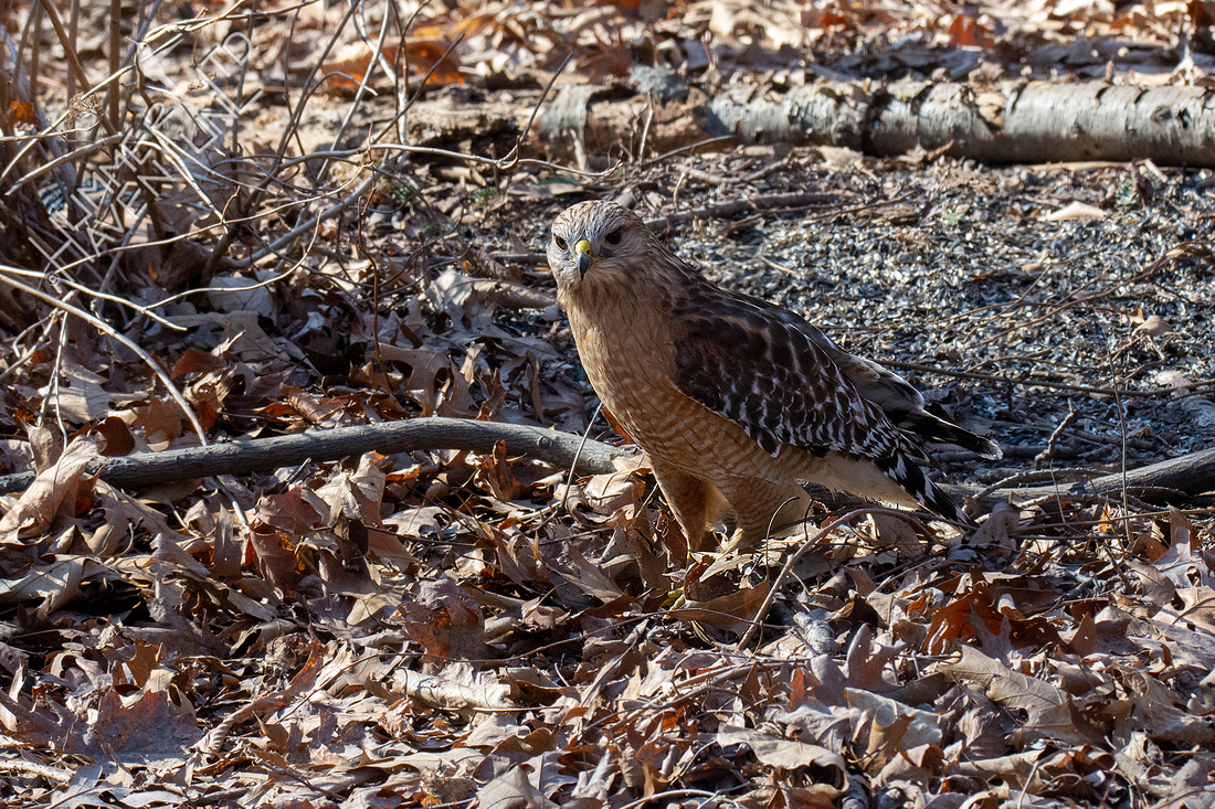 3-6-21 Red-shouldered Hawk with prey