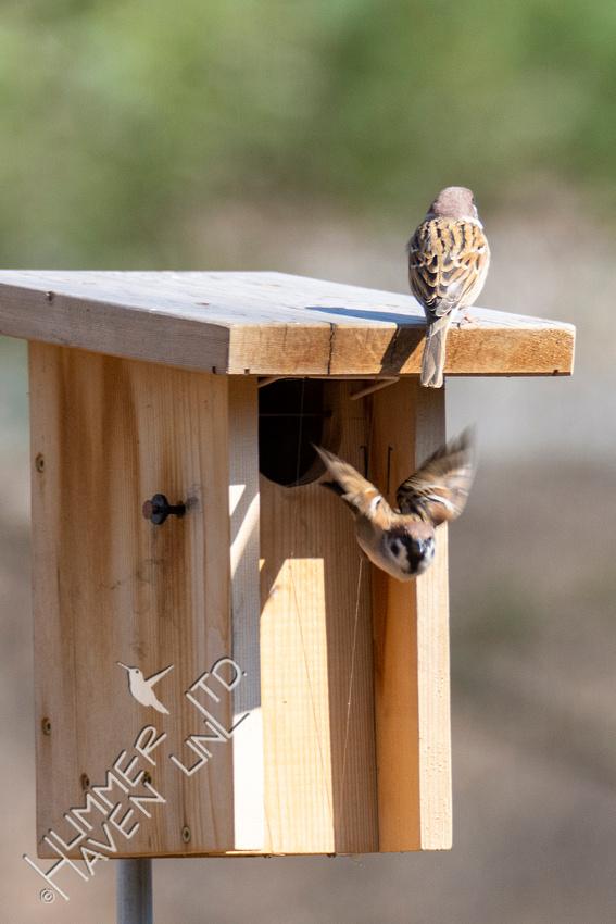 3-7-21 Eurasian Tree Sparrows at Eastern Bluebird nest box